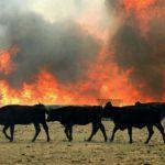Стадо коров спасли из огня